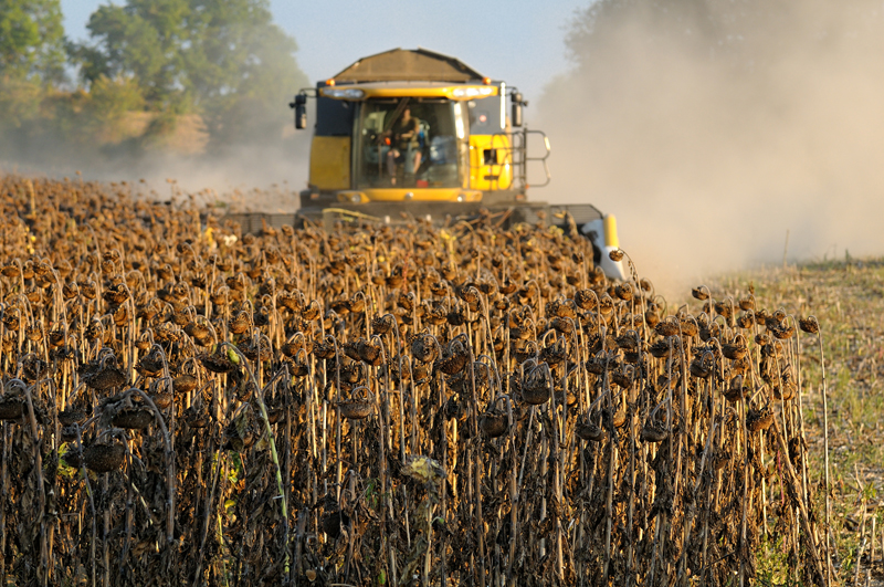 МСХ США снижает оценку урожая подсолнечника в России