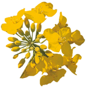 Озимый рапс под раундап Клеопатра РС, Урожайній гибрид рапса 40 ц ... | 300x300